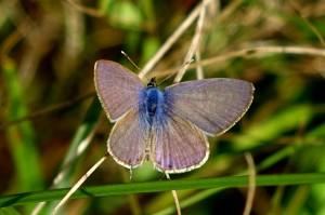 6.Modri marogarček