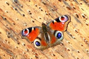 Lecture Daily butterflies in Slovenia @ Muzej Tomaža Godca | Bohinjska Bistrica | Radovljica | Slovenija