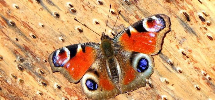 Odprtje razstave Dnevni metulji Slovenije
