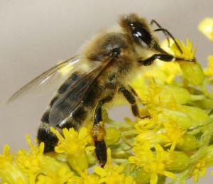 (Slovenski) Apiterapija in čebelji izdelki